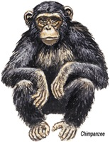 Chimpanzee Monkey Ape