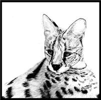 Serval reclined