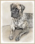English Mastiff (Brindle)