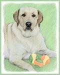 Labrador Retriever(Yellow)