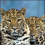 Leopard T-shirts & Gifts