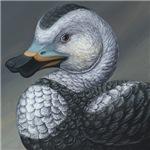 Labrador Duck (Camptorhynchus labradorius)