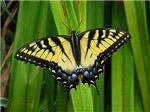 .eastern swallowtail butterfly.