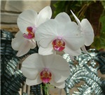 .white phalenopsis - red lip.