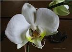 .white phalenopsis. II