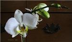 .white phalenopsis. III