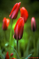 Red Tulip Buds
