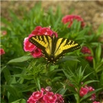 Western Tiger Swallowtail (6)
