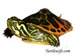 Hatchling Map Turtle