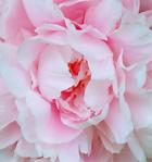 Vivid Pink Flower