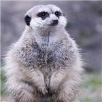 Adorabel Meerkat 03