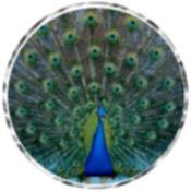Peacock 6025