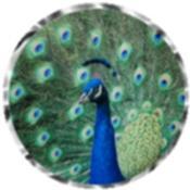 Peacock 5428