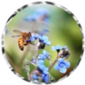 Chinese forget-me-not 2401