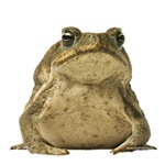 Cane toad 1