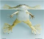 Pippi Frogstocking