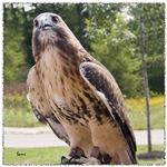 Red tail hawk (1)