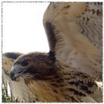 Red Tail Hawk Wings Spread