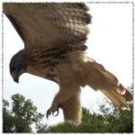 Ostara, Red Tailed Hawk Landing
