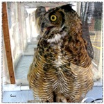 Pax, Great Horned Owl
