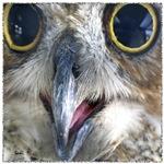 Great Horned Owl Eyes