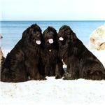 Newfoundland Beach Trio