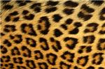 Sideways leopard skin