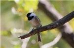 A Little Chickadee On Perch
