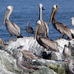 Pelicans on Rocks