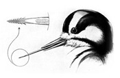 Woodpecker Tongue Anatomy