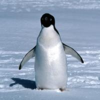 Penguin - Lone Adelie with background