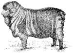 Merida Sheep