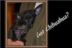 Got Chihuahua?