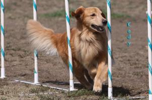 AGILITY PHOTO POSTERS - GOLDENS