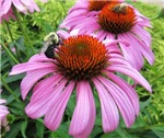 Bumblebee on Purple Illinois Coneflowers