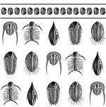 Ernst Haeckel Trilobite - Large