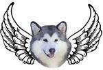 Angel Husky