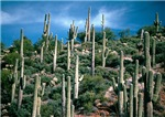 MANY SAGUAROS IN ARIZONA