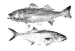 Striper Bass and Bluefish