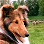 Sheltie & Sheep