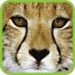Cheetah T-Shirts and Gifts