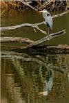 Great Blue Heron # 4