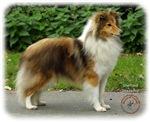 Shetland Sheepdog 9T002D-090
