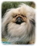 Pekingese 9Y201D-070