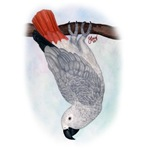 Congo African Grey Watercolor -