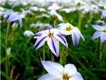 Purple and White Flowers, 2