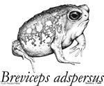 Breviceps adspersus