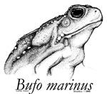 Bufo marinus