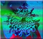 Chryanthemum Blue