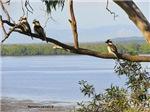 Kookaburras on the Tree